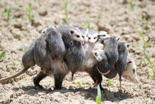 mãe gambá com gambazinhos