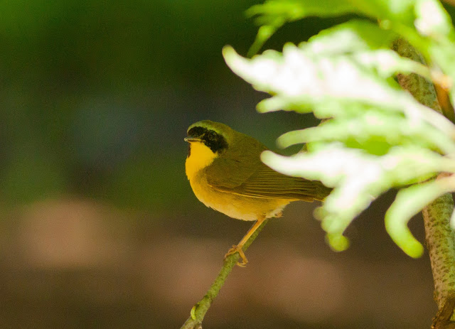 Common Yellowthroat - Central Park, New York