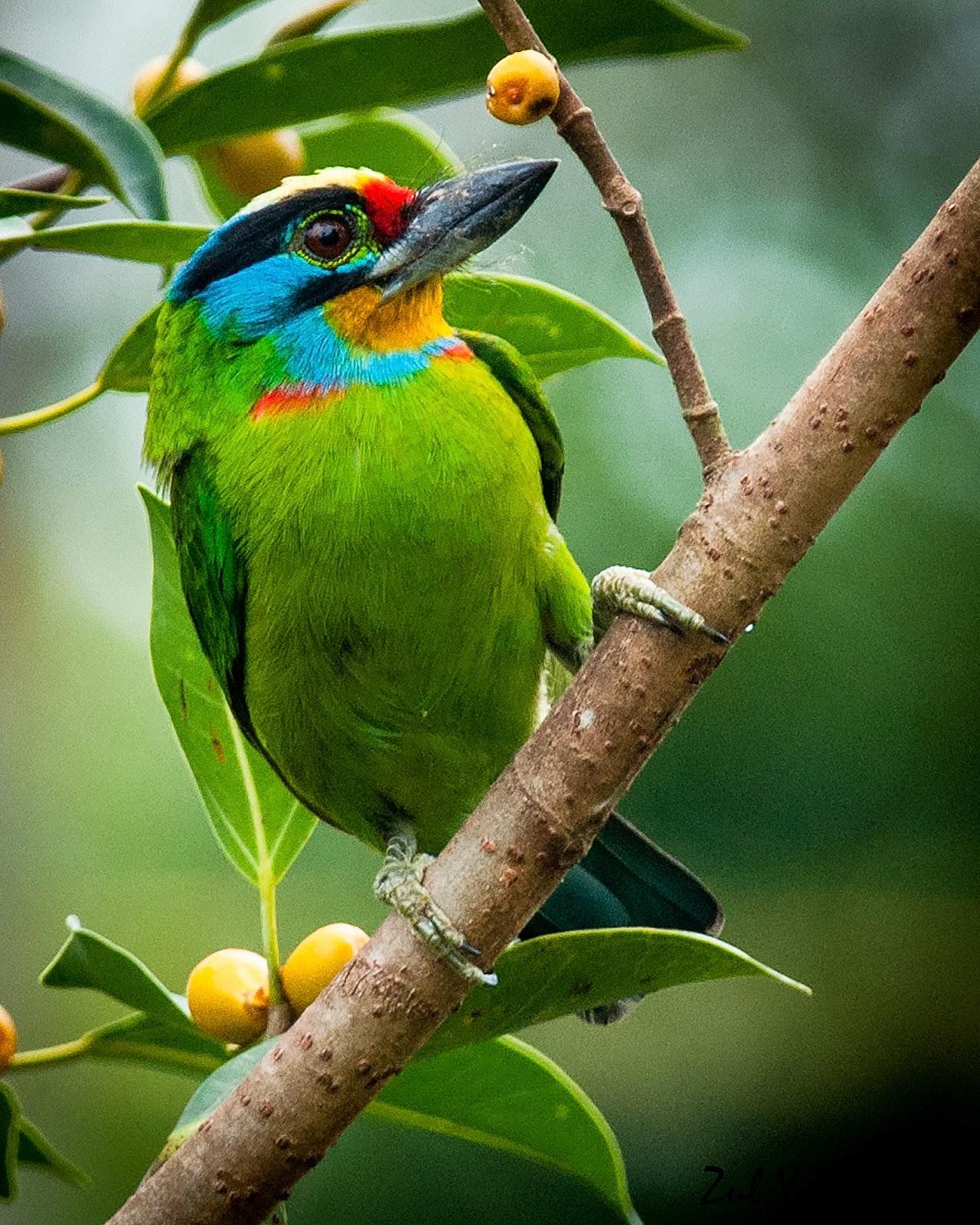Zul Ya - Birds of Peninsular Malaysia: Colourful Barbets