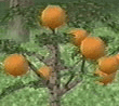 harvest moon wonderful life orange tree