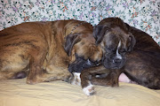 Scates' Boxer Puppies