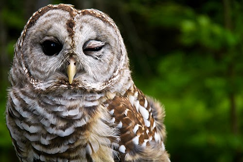 Through a Glass Brightly: My Thing with Owls: A Meditation ...