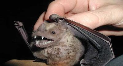 Murciélagos transmitirían también Leishmaniasis y Leptospirosis MM