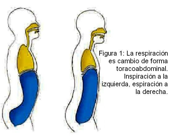 Conciencia Yoga: Anatomía de la respiración yoguica. Diafragma.