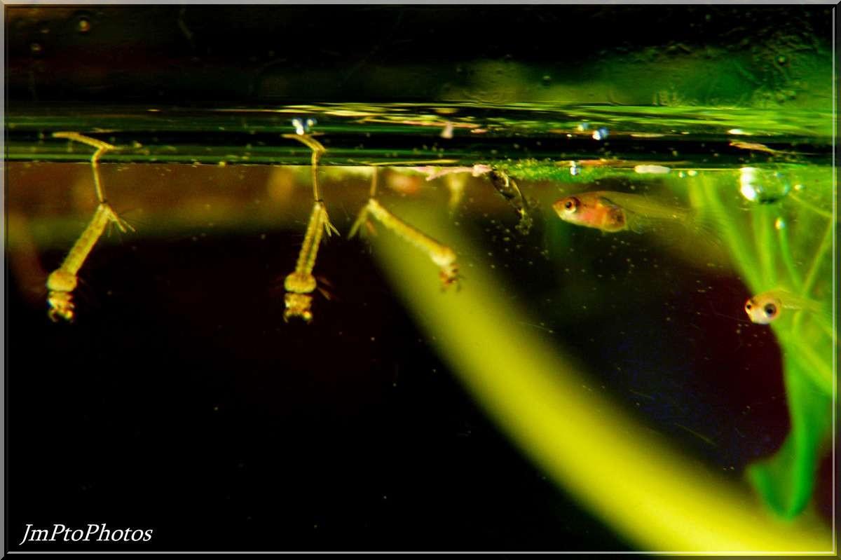 Jmptophotos larves de moustiques pour alevins bettas for Terreau aquarium