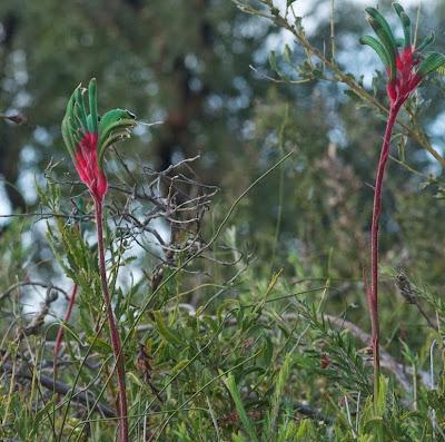 Mangles' Kangaroo Paw (Anigozanthos manglesii)