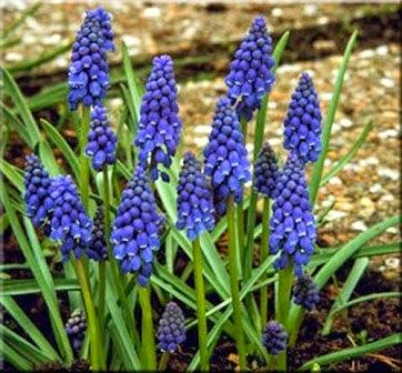The flower bin choosing small bulbs with big colors muscari known as grape hyacinths are hardy spring bloomers that produce blue or purple flowers that look like bunches of grapes hence the common name mightylinksfo