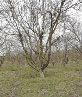 Soi de nuc Cogalniceanu - copac