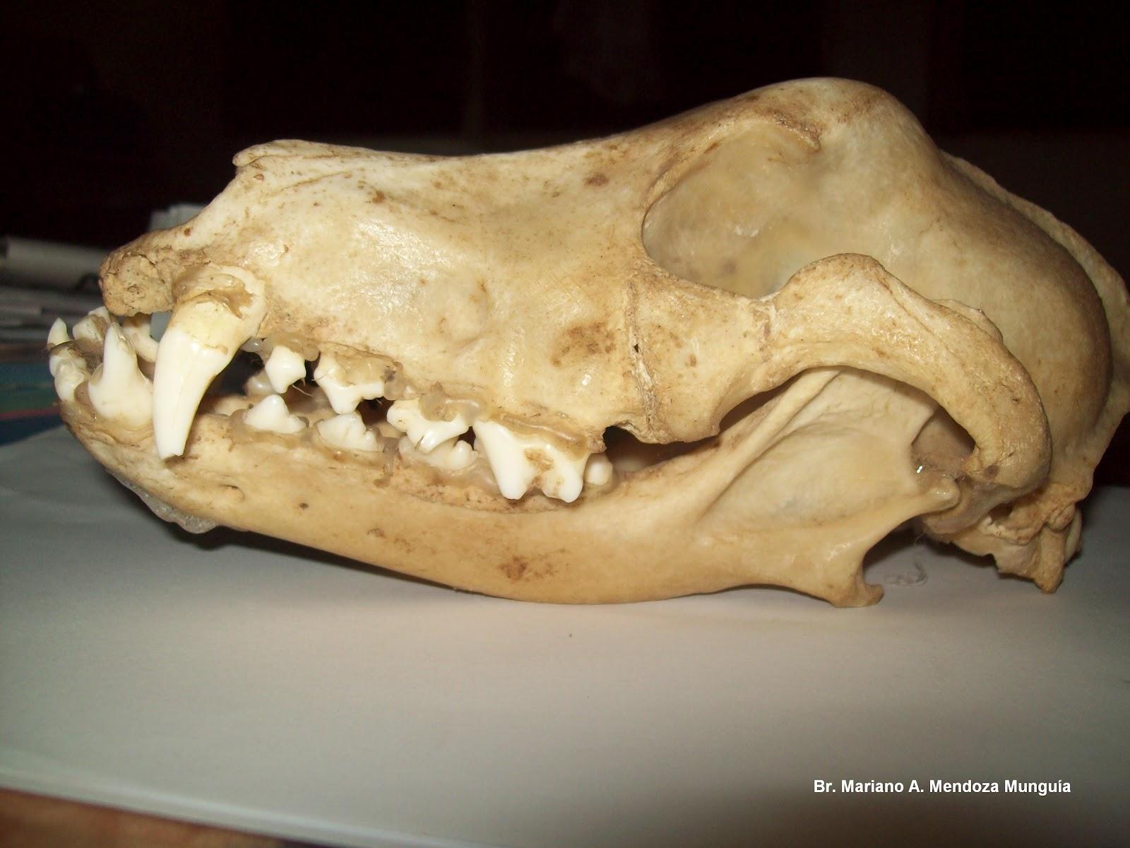 Animal Nica Med: Fotos - Dibujos de Anatomía Veterinaria (anatomo ...