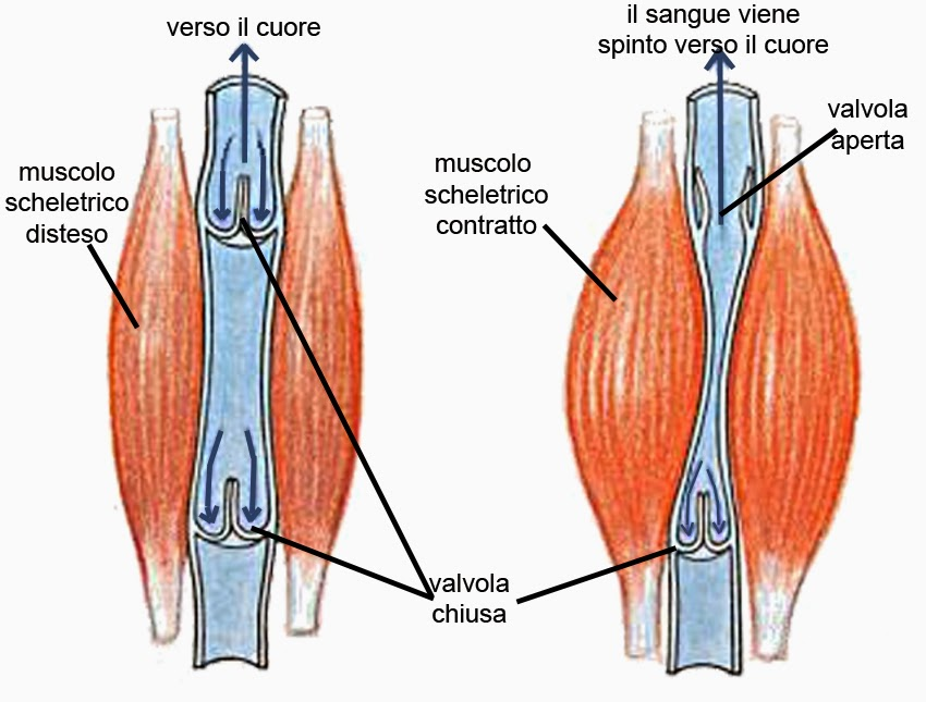 Calze di compressione allatto di risposte varicosity
