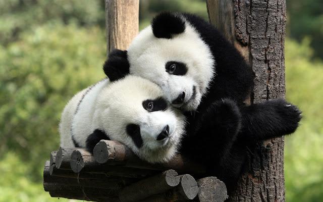 Adorable Hugging Pandas