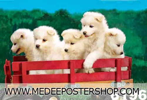 Samoyed Puppies ซามอยด์เอ็ด