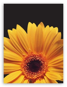 yellow gerbera daisies vga mobile t2