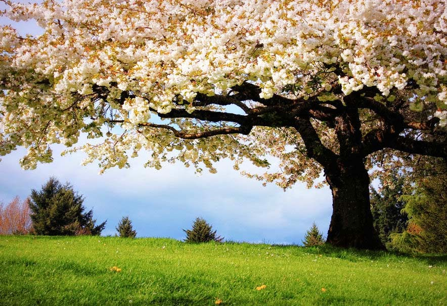Nature Spring Cherry Flowers Hd