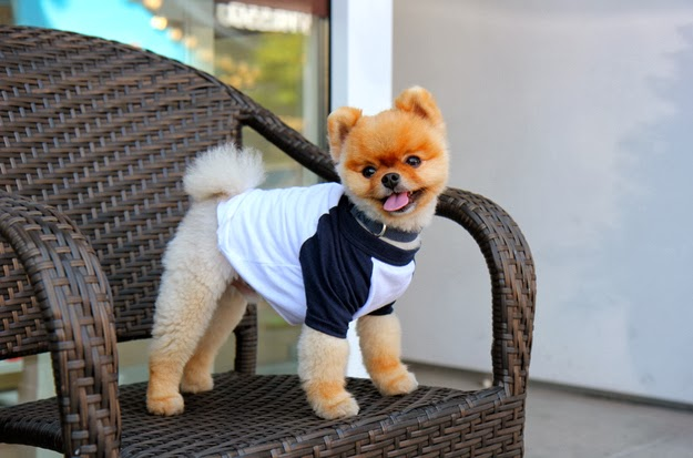 42 Things That Happened During My Day With The Second Most Famous Pomeranian In The World