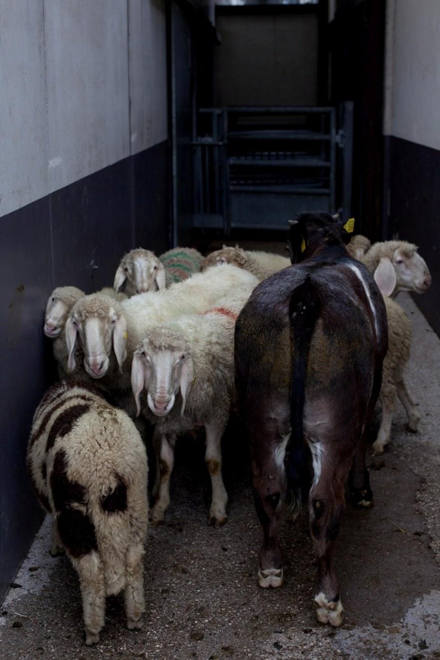 ¿Hay mucha diferencia entre niños en la cámara de gas de Auschwitz y los animales en los mataderos?