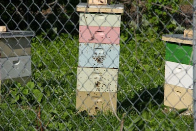 bees at U of M hives