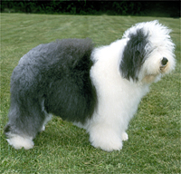 Choosing Best Dogs For Kids Information old english sheepdog