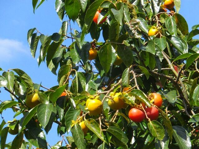 真っ赤に熟した柿の実。