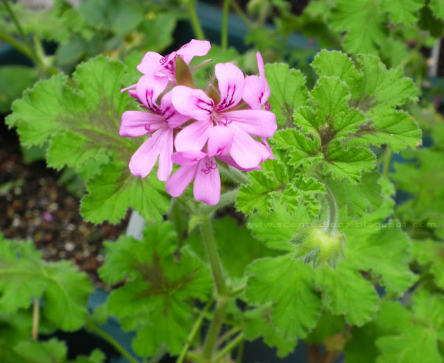 Chocolate-Mint Scented pelargonium
