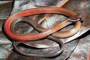 A New Species of Gonglyosoma Snake from Pulau Tioman, West Malaysia
