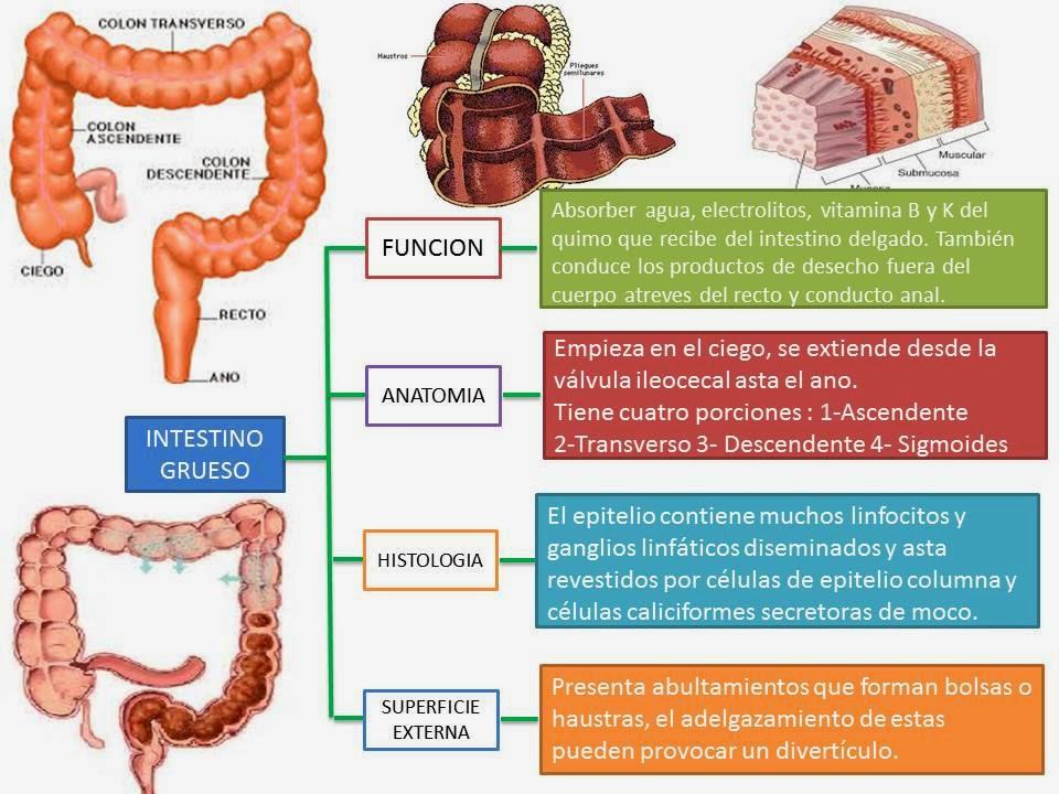 Excelente El Intestino Grueso Absorbe Fotos - Anatomía de Las ...