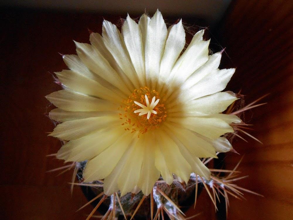 star cacti flower