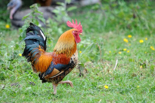 Hypathie blog f ministe et anti sp ciste petits bonheurs de la semaine b - Les plus belles poules d ornement ...