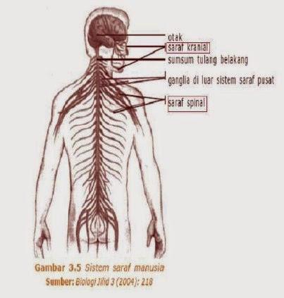 susunan saraf tepi