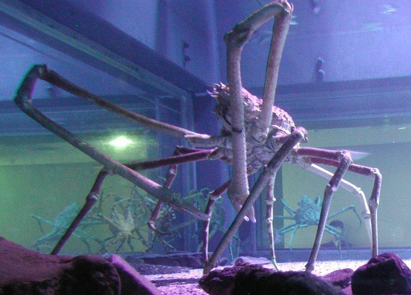 Spider Crab Size Amazing Animals...