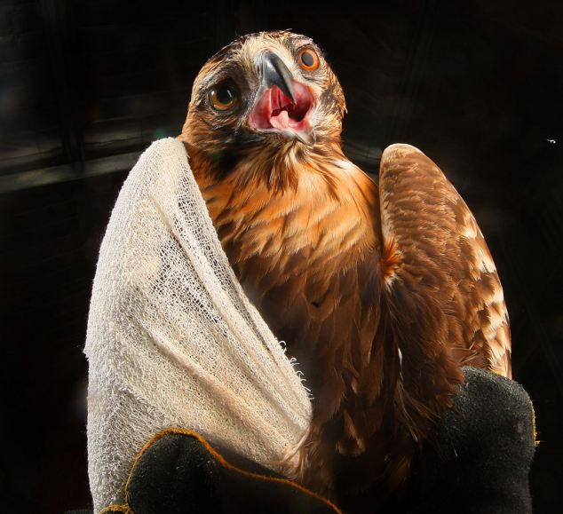 Crash the Little Eagle is all bandaged up after flying straight into a window (Photos)