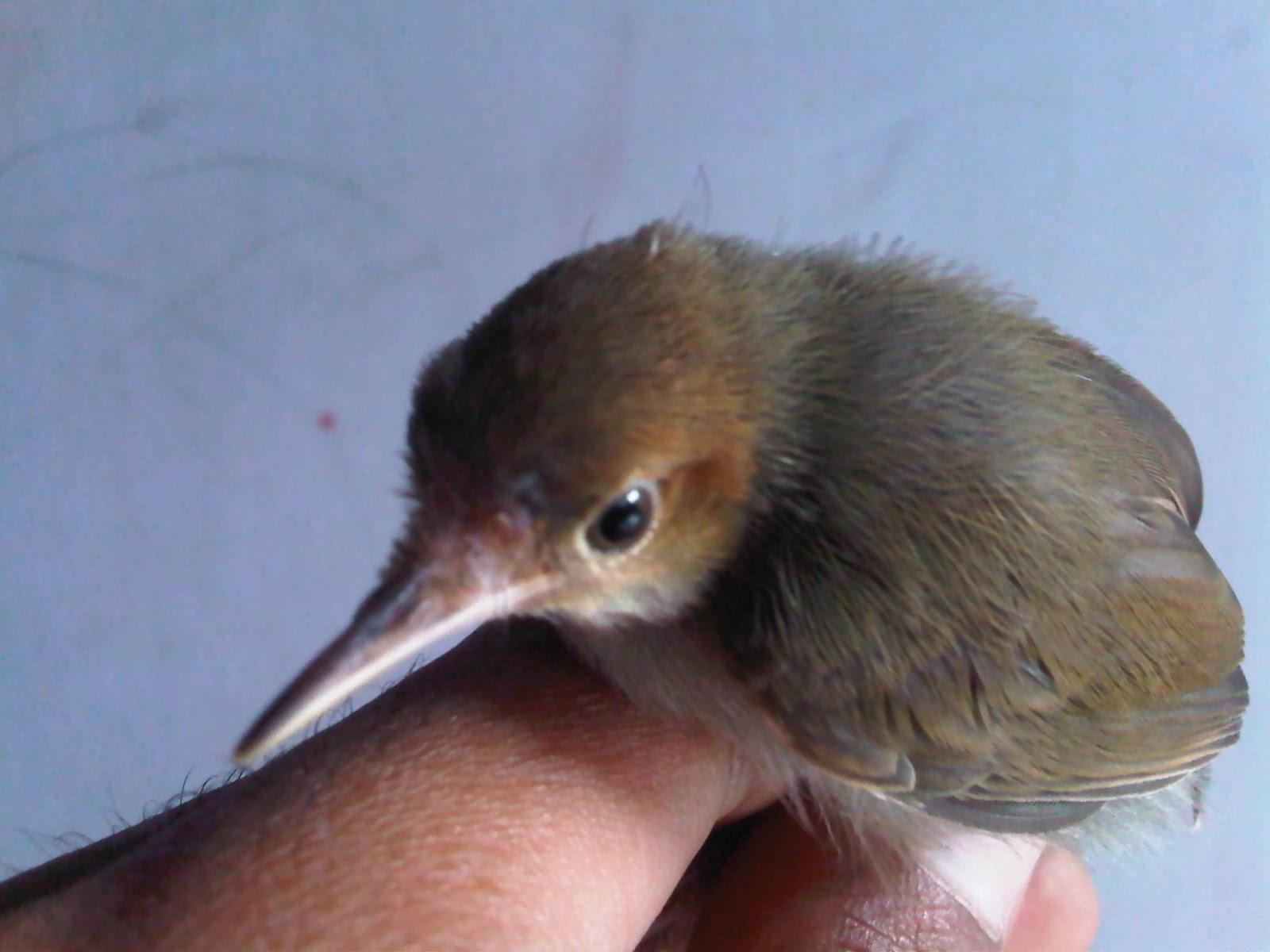 Burung Prenjak Jantan Dan Beti Na
