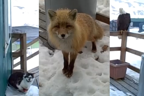 Eagle, Fox And Cats Hang Out On Porch In Alaska (Video)