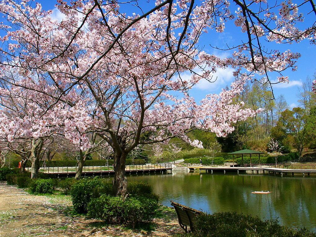 Bunga Sakura Yang Indah ALFANET PHOTOGRAPHY