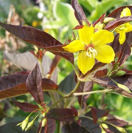 høje gule blomster