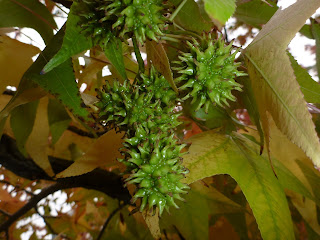 Liquidambar fruits
