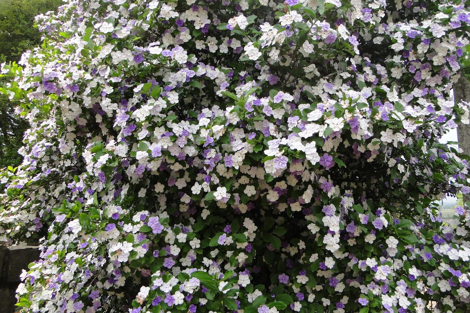 manaca de jardim em vaso : manaca de jardim em vaso:Planeta e Vida: O manacá de cheiro e minha primavera