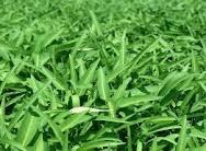 Khasiat Daun Kangkung Untuk Menghilangkan Ketombe,tanaman kangkung hijau muda