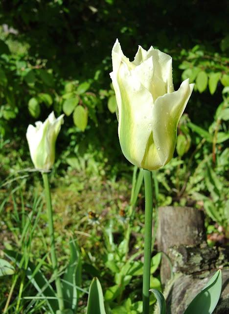 Tulpan Spring Green
