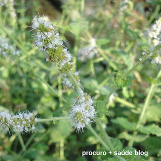 Hortelã-pimenta (Mentha piperitae)