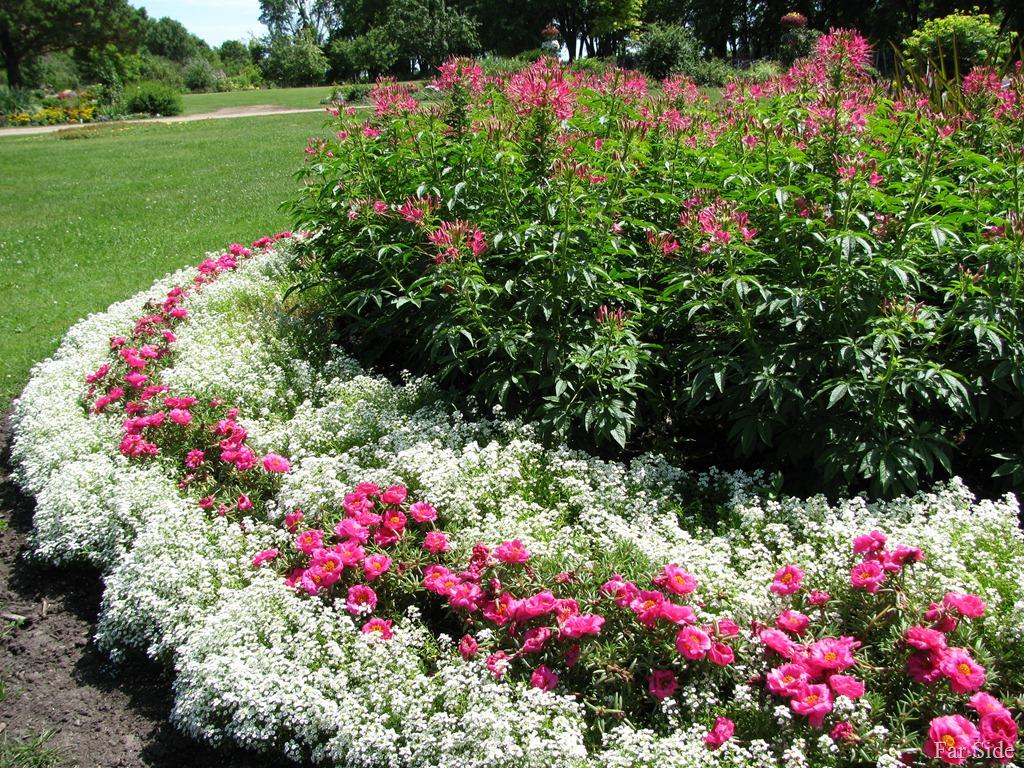 Цветы алиссум многолетний