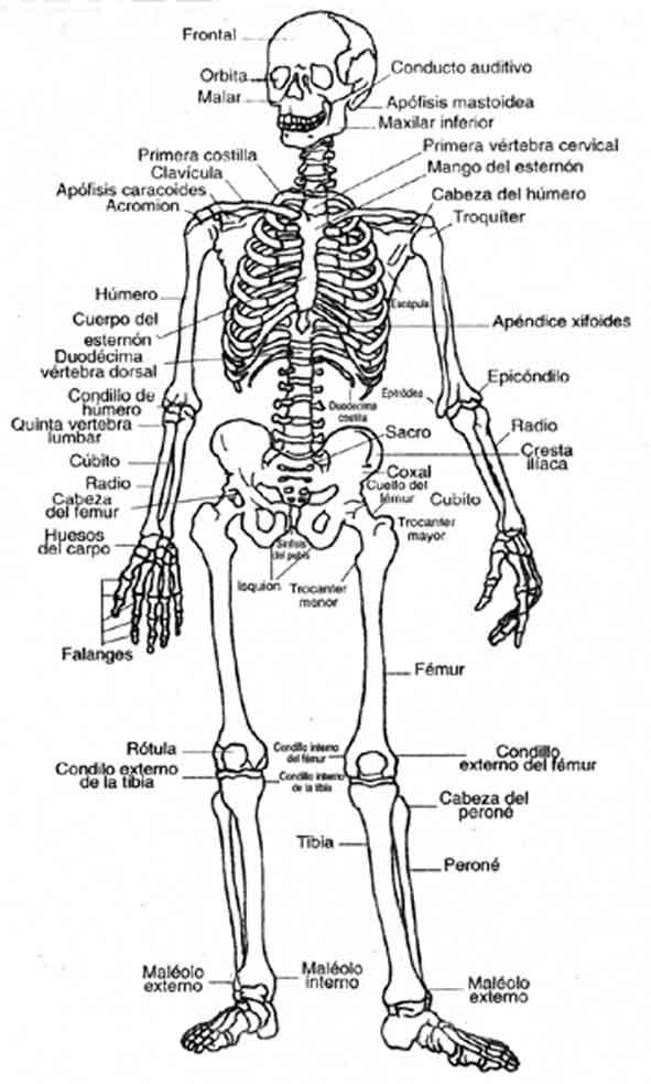 El estudio del movimiento: Sistema óseo y movimiento