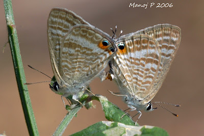 Pea Blue Butterflies Mating