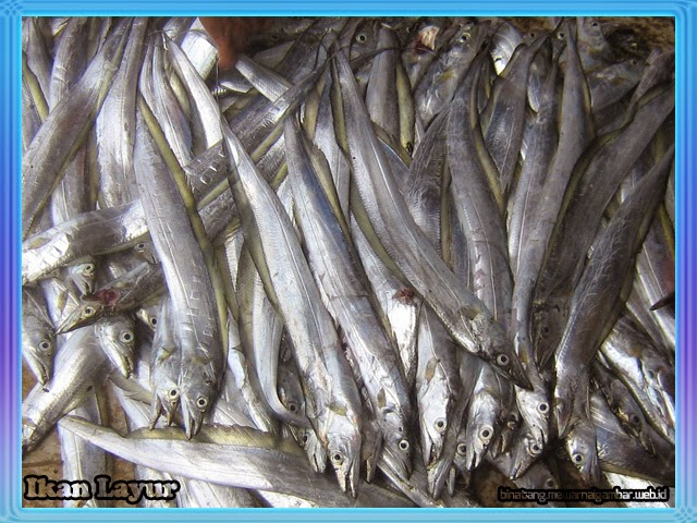 Ikan Layur