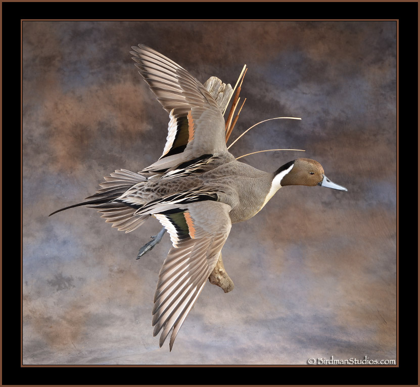Northern pintail mount - photo#22