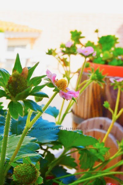 { Dal giardino: son spuntate le fragole } - shabby&countrylife.blogspot.it