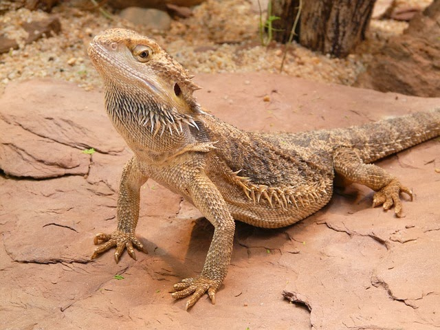 World Of Reptiles Bearded Dragon Facts