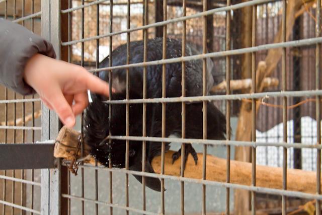 Ручные вороны в дворике на Рейтарской