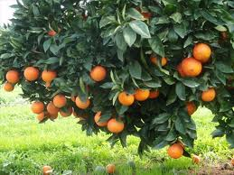 Right Orange Tree