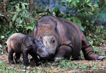 Badak Sumatera Lahir di Tengah Ancaman Kepunahan